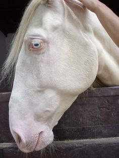 Can a horse be albino? - Quora - photo#29