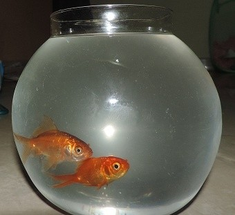 Can i keep two goldfish in one 10 inch diameter fish bowl for How to make a fish bowl