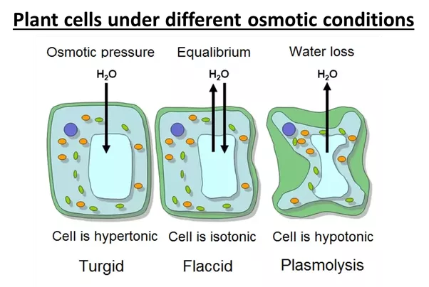 How Do A Flaccid And A Plasmolysed Cell Differ?