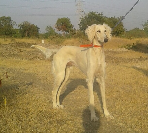 Low Maintenance Dog Breeds In India