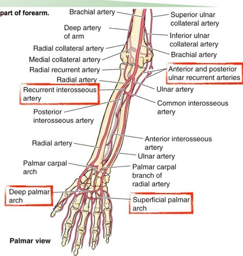What would happen if someone was stabbed between the radius and ulna ...