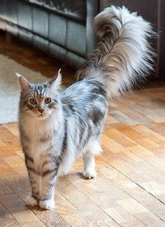What Is The Best Way To Remove Matted Hair On My Older Maine Coon Cat Quora