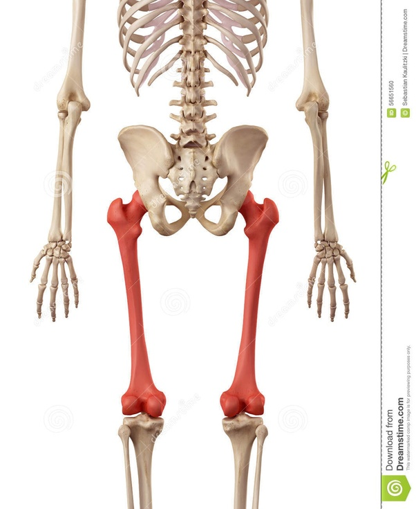 What is the longest and the strongest bone in the human body? - Quora
