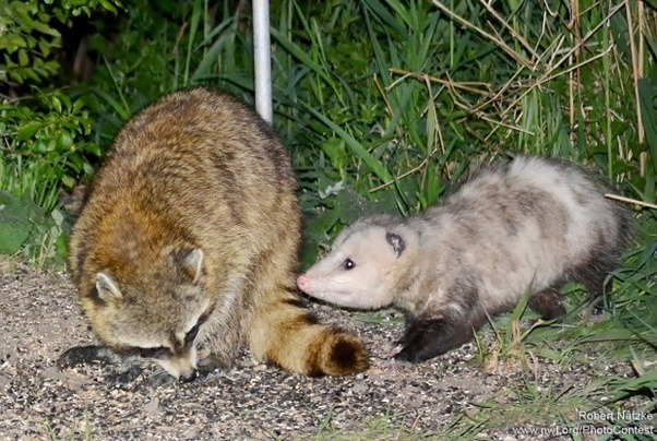 Where Do Suburban Opossums And Raccoons Live Quora