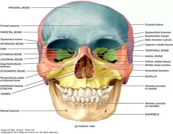 What Are The Unpaired Facial Bones Quora