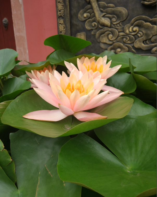 Where can lotus flowers grow quora here is a picture i took in front of a temple mightylinksfo Images