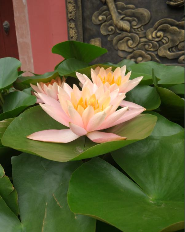 Where can lotus flowers grow quora mightylinksfo