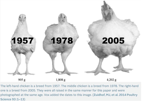 Why can't chickens fly? - Quora