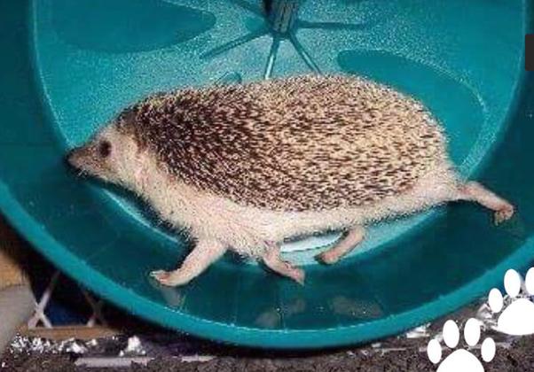 Are Hedgehogs Fast Quora