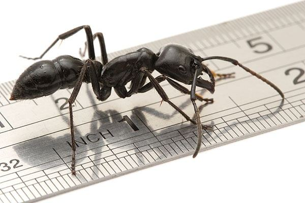 Messor Cephalotes Is A Really Huge Red Colored Seed Collecting Ants Species From East Africa