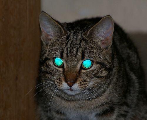 Ringtail Cat Eye Glow