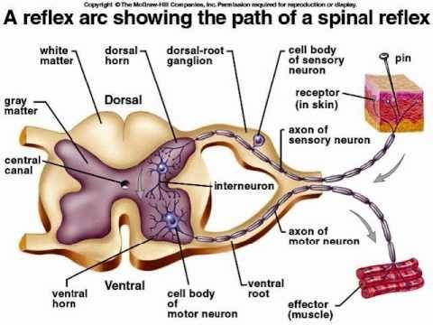 Why does grey matter position change between brain and spinal cord again it is all about efficiency reflex arcs link sensory and motor information and govern them from within hence saving time and space ccuart Image collections