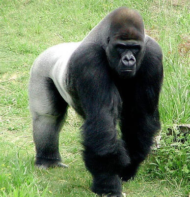 A real escaped gorilla shows up at the mansion just.
