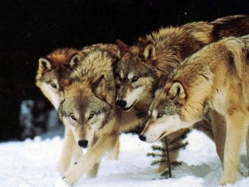 922f7036 If you killed the alpha male of a pack of wolves, would the rest of ...