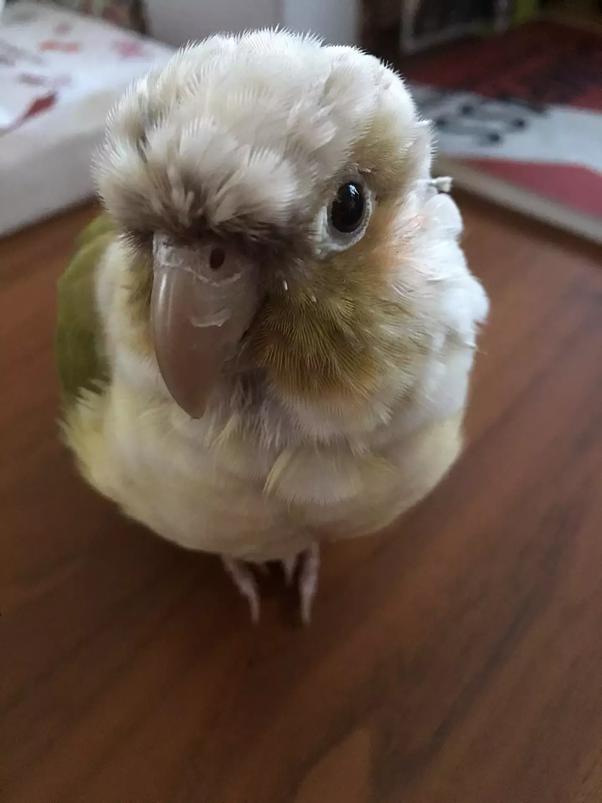 Which bird pet is better, Cockatiel or Conure? - Quora