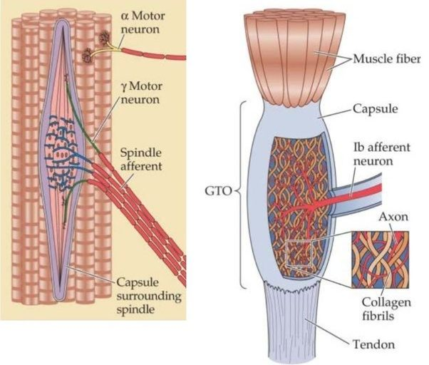 How Are The Nervous System And The Muscular Systems Connected