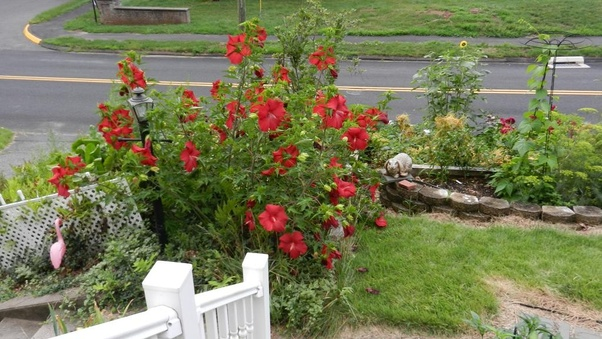 Should I Cut Back Perennial Hibiscus Plants In The Late Winter Quora