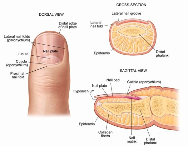 The Main Parts Of A Nail Are Proximal Fold Cuticle Eponychium Lunula Plate Bed Lateral Folds Distal Edge And