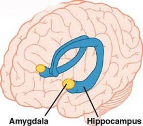 What is the function of the amygdala and hippocampus neuron in the the yellow one right there is amygdala and the blue stalk like structure is hippocampusthe name because it looks like a sea horsei dont know how ccuart Gallery