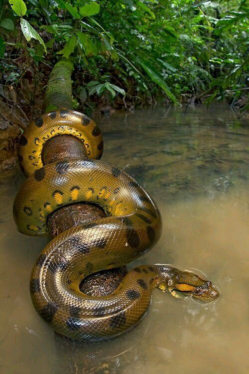 How big is an anaconda and how dangerous is it? - Quora
