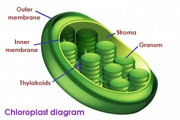 What are chloroplasts and why do they move quora see those sets of flattened disks those are called grana each stack of grana called a granum contain whats known as a thylakoid membrane ccuart Image collections
