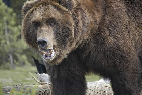 if you encounter both a grizzly and black bear at the same time