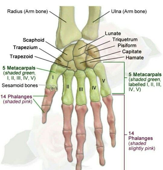What Are The Bones That Form The Human Hand Quora