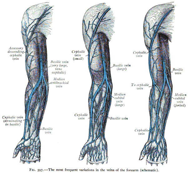 Can you see your radial artery under your wrist? - Quora