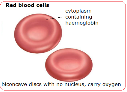What is an example of a red blood cells diagram quora ccuart Images