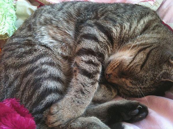 Cat Breeds Spine Stripe
