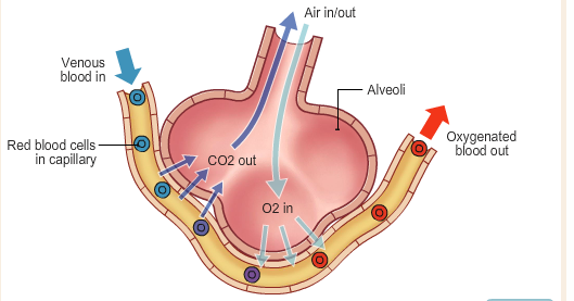 How does gas exchange happen in lungs quora in simple terms gas exchange is a process thats essential to life it is comprised of two main components the lungs and the small blood vessels that run ccuart Gallery