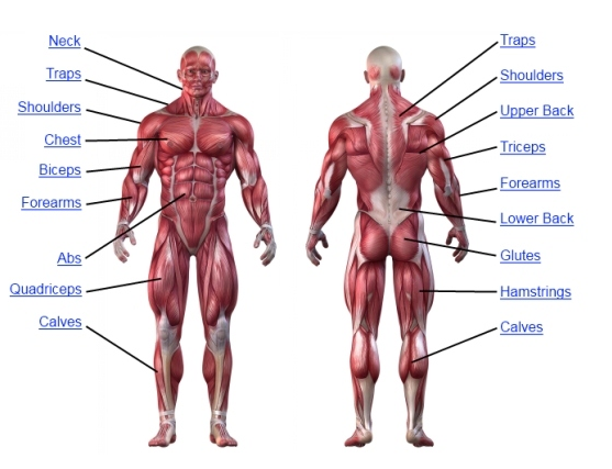 All Muscle Can Be Categorized Into Four Groups And Accordingly Three Workouts Push Pull Leg Abs
