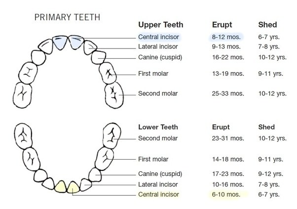 How long after babies get their bottom two teeth is it ...