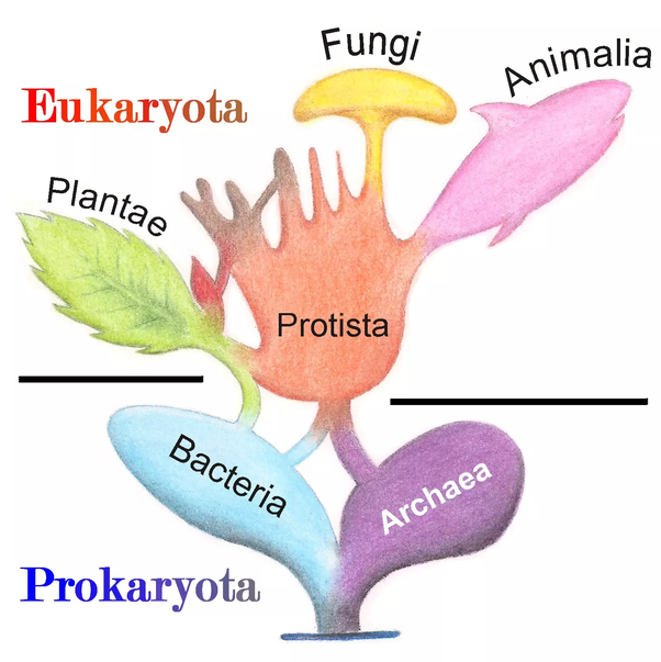 Now We Follow 6 Kingdom Grouping Of Organisms Where Bacteria Cons Ute One Of The Kingdom