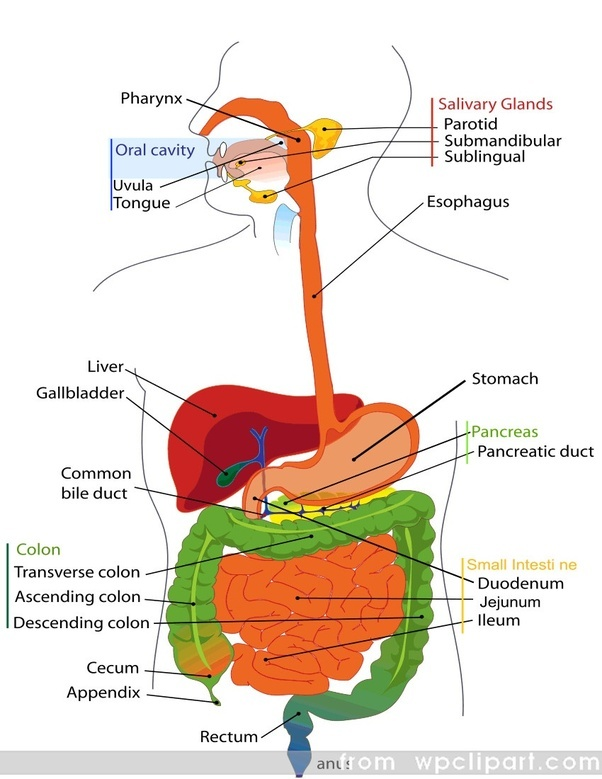 What Are The Parts Of The Digestive System Quora