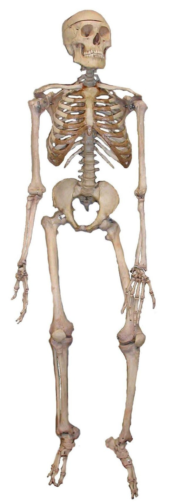 How Much Does A Human Skeleton Weigh Quora