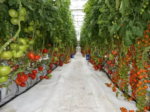 Do Greenhouse Or Hydroponically Grown Tomatoes Have