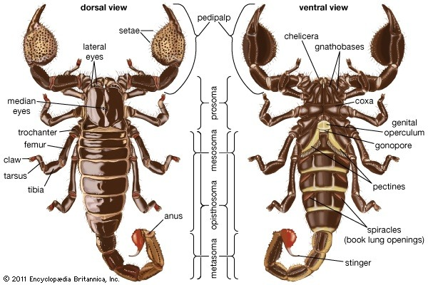 what are the differences between scorpions and spiders ...  #15