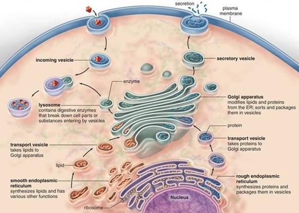 rough endoplasmic reticulum function pdf