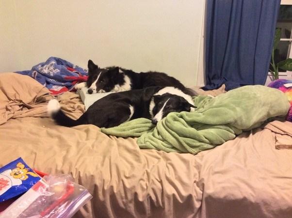 Acabo de recibir mi primer cachorro.  ¿Cuáles son algunos consejos sobre cómo criar a un Half-Husky Half-Border-Collie de 4 meses de edad?