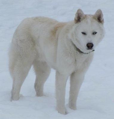 White Siberian Husky Wolf Mix Photo - Happy Dog Heaven  |Black Siberian Husky Wolf Mix