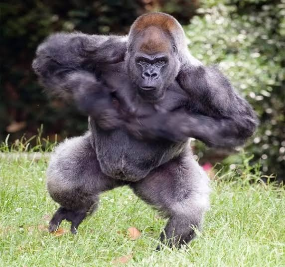 Would a UFC fighter be able to armbar a gorilla if the ...