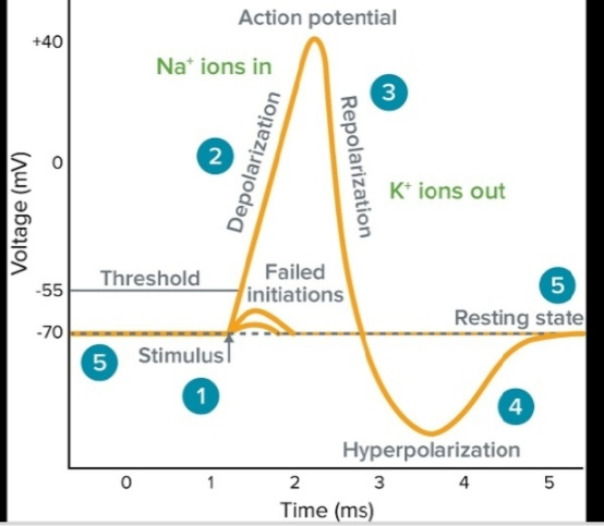 Why Is The Neuron Action Potential Not Able To Reach The Na Reversal Potential Of 55mv Quora