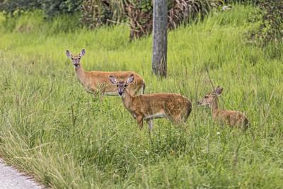 How are deer terrified of being near humans when you find them in a forest but not terrified of cars when they cross roads? - Quora