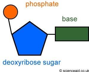 Structure of dna revision notes in gcse biology image result for nucleotide diagram ccuart Images