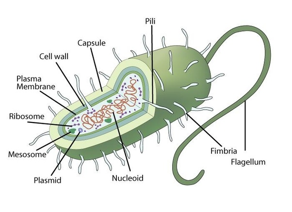 Is Bacteria Considered Prokaryotes Or Eukaryotes