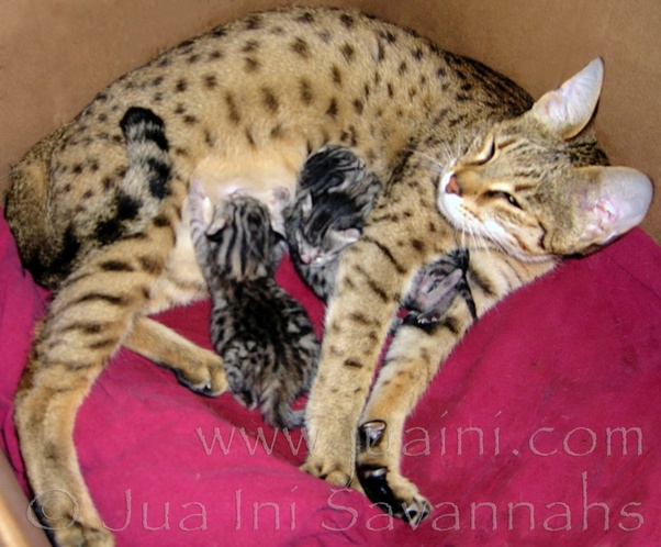 When Female Cats Start Mating While Still Nursing Her Kittens Will It Affect Her Milk Quora