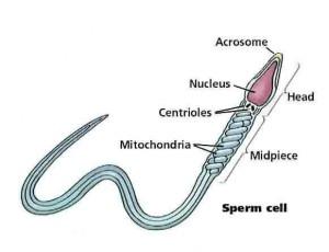 sperm have Do organelles cells