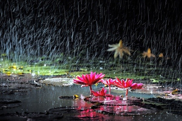 What is the spritual importance of lotus quora the lotus leaves shed rain water and dirt much as buddha understands and nonreacts to the ignorant merchant that spits on him mightylinksfo