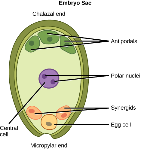 What is the significance of an antipodal cell and synergid cell quora answer wiki ccuart Choice Image